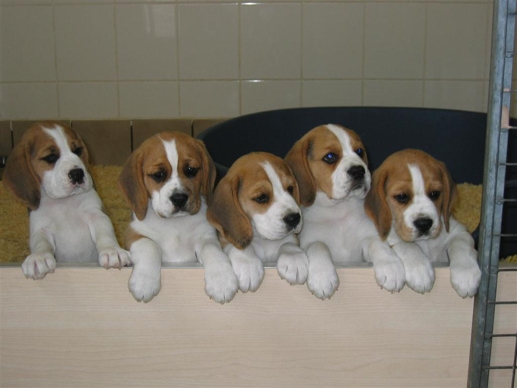 Eardley Beagles